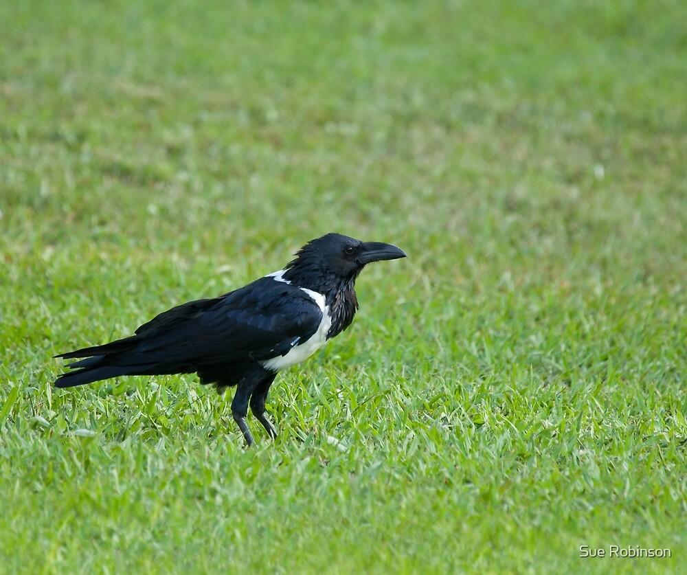 Pied Crow by Sue Robinson