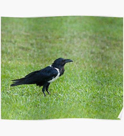 Pied Crow Poster