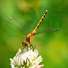 Meadowhawk on Clover by Bill Morgenstern