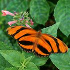 Banded Orange Heliconian by Bill Morgenstern