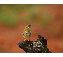 Common Tailor Bird, India. Photographic Print