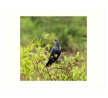 Long-tailed Cormorant Art Print