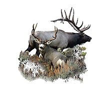 Bull elk and mule deer buck Photographic Print