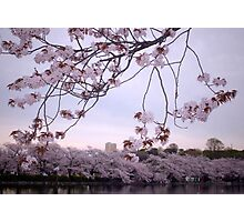 Sakura Season Photographic Print