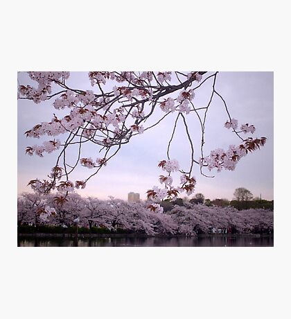 Sakura Season Photographic Print