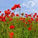 Field of Poppies | panoramic view by Melanie Viola