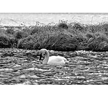 BW Trumpeter Swan Photographic Print