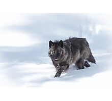 Black Wolf Photographic Print