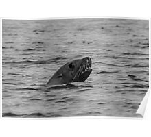 BW Sea Lion Poster
