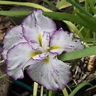 Purple edged white petalled Iris flower Leith Park Victoria 20151215 6470   by Fred Mitchell