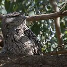Tawny frogmouth outside library Leith Park Victoria 20151215 6471   by Fred Mitchell