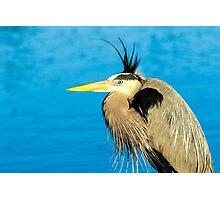 Great Blue Heron Photographic Print
