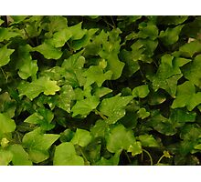 Green Leaves Photographic Print