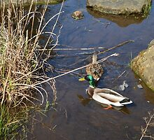 Two wild ducks in spring water pond. Nature photo art. by naturematters