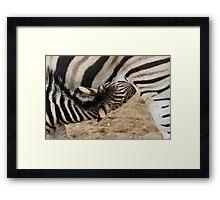 Chapman Zebra Baby Framed Print