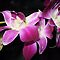 *AVATAR/Orchid - Enchanted Flowers*