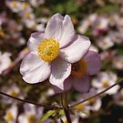 Japanese Anemone in Wales by kalaryder