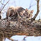 Morning Bobcat by Dennis Stewart