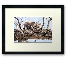 Morning Bobcat Framed Print
