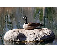 """""""I'm Not A Sittin Duck, I'm A Silly Goose"""" Photographic Print"""