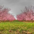 Orchard Blossoms by James Brotherton
