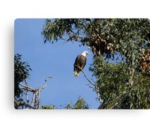 Bald Eagle on a Sunny Day Canvas Print