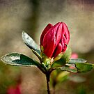 Budding Azaleas by Scott Mitchell