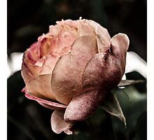 Blooming Rose Photographic Print