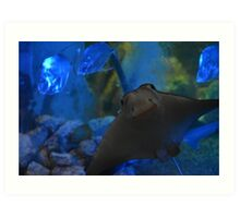 Cownose StingRay Art Print