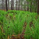 On The Edge Of A Flatwoods Seepage Slope. by Michael L Dye