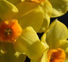 Pretty spring yellow daffodil flowers photo art. Sticker