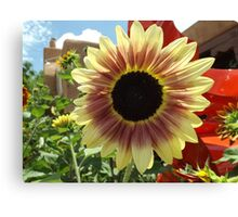 Sunflower Close-up, Santa Fe, New Mexico Canvas Print