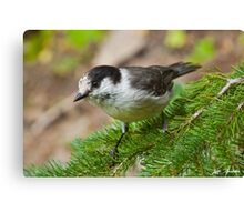 Gray Jay on Fir Tree Canvas Print