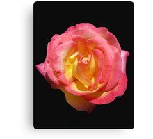 Sunlit 'Sugar Pink' Rose on Black Background Canvas Print