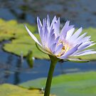 Waterlily with Bee  by Virginia McGowan
