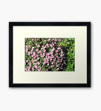 Beautiful spring bush with pink flowers. Framed Print
