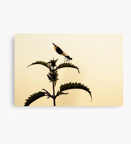 Male Banded demoiselle (Calopteryx splendens) Canvas Print