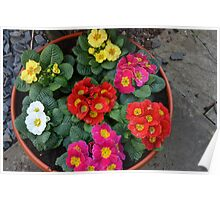 Multi Colored Polyanthus Poster