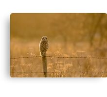 Short-eared Owl (Asio flammeus) Canvas Print