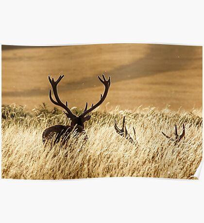 Red Deer Stags (Cervus elaphus) Poster