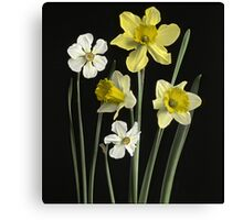 Narcissi of several kinds, Daffodils, Poet's Nar  Canvas Print