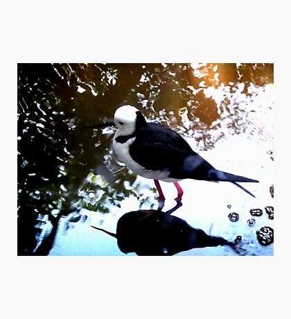 Black-winged Stilt - Colour Photographic Print