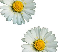 Two white daisies by ghjura