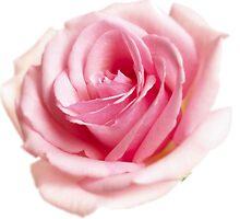Pink rose by ghjura
