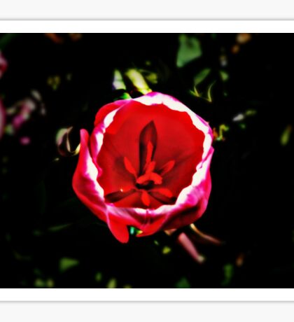 Tulip in Pink Sticker