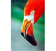 Super Red Close American Flamingo Photographic Print