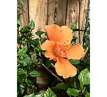 Peach Hibiscus Photographic Print