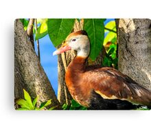 Black Bellied Whistling Duck Canvas Print