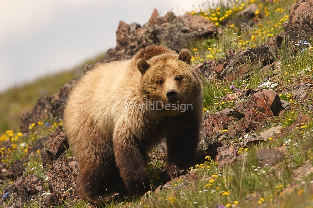 Grizzly & Wildflowers by William C. Gladish, World Design