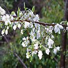 Plum blossom and twigs. by Mary Taylor